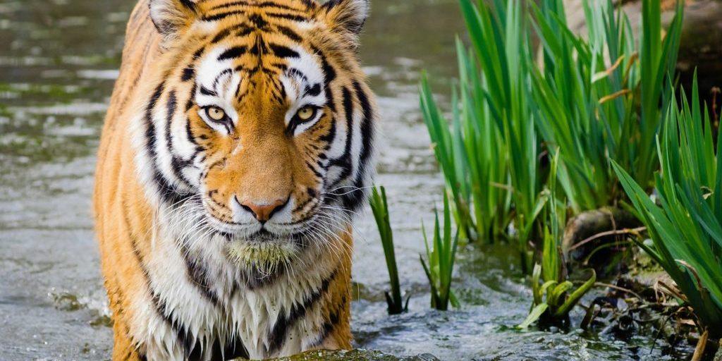 tiger-1024301_1920